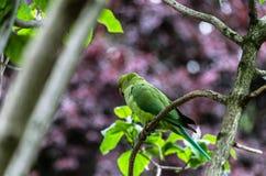 在枝杈栖息的一只被伪装的长尾小鹦鹉 库存照片