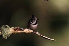 在枝杈栖息的有顶饰山雀 库存图片