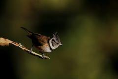 在枝杈栖息的有顶饰山雀 库存照片