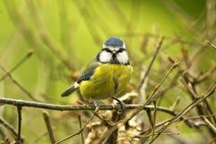 在枝杈栖息的蓝冠山雀走下去看 库存图片