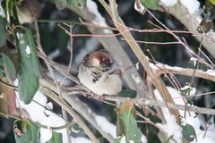 在枝杈的一只麻雀 免版税图库摄影