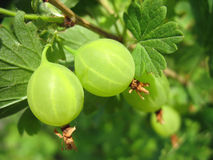 在枝杈的两个绿色鹅莓。宏指令 免版税库存照片