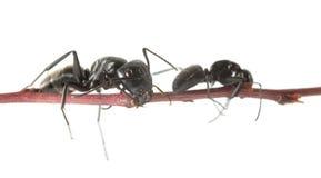 在枝杈的两只蚂蚁 库存图片