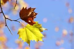 在枝杈的二片叶子 免版税库存照片