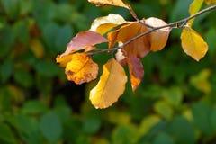 在枝杈的五颜六色的秋天叶子 库存照片