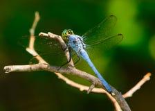 在枝杈的公蓝色dasher Pachydiplax longipennis蜻蜓 免版税库存图片