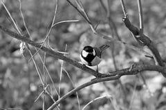 在枝杈的北美山雀 库存图片