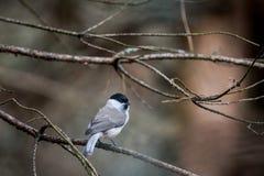 在枝杈的小的灰色鸟 免版税库存照片