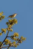 在枝杈的开普梅鸣鸟 库存照片
