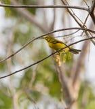 在枝杈的开普梅鸣鸟 库存图片