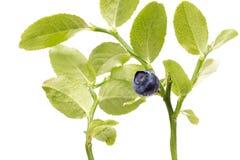 在枝杈的成熟蓝莓在白色背景 免版税库存图片
