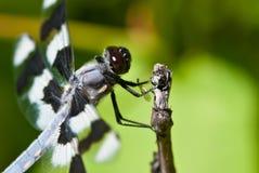 在枝杈的末端栖息的蜻蜓 免版税库存图片