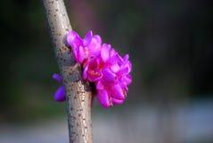在枝杈的桃红色花 库存照片