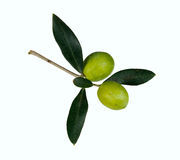 在枝杈的绿橄榄查出在白色 库存照片