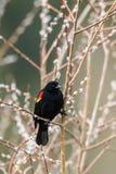 在枝杈的美洲红翼鸫 免版税库存图片