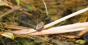 在枝杈的草蛙 图库摄影