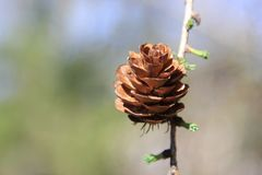 在枝杈的落叶松属锥体 图库摄影