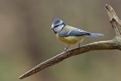 在枝杈的蓝冠山雀。 免版税库存图片
