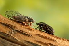 在枝杈的蝉Euryphara和罗斯金龟子看彼此在绿色背景 免版税库存照片
