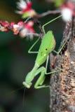 在枝杈的螳螂 免版税库存图片