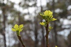 在枝杈的年轻无花果叶子 免版税库存照片