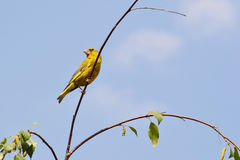 在枝杈的Greenfinch 图库摄影