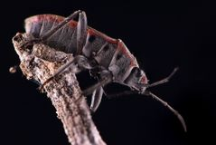 在枝杈黑色背景极端宏观关闭的昆虫 免版税库存照片