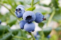 在枝杈,室外,接近的成熟蓝莓 库存图片