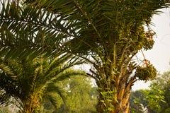 在枣椰子树特写镜头的日期在早晨阳光 图库摄影