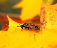 在枫叶的纸质黄蜂 图库摄影