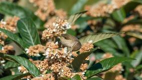 在枸杞树的捕虫鸣鸟鸟 库存图片