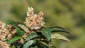 在枸杞树的捕虫鸣鸟鸟 免版税库存图片