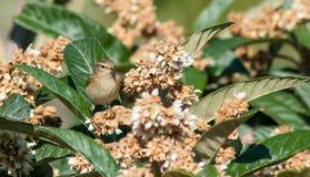 在枸杞树的捕虫鸣鸟鸟 图库摄影
