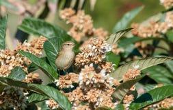 在枸杞树的捕虫鸣鸟鸟 库存照片