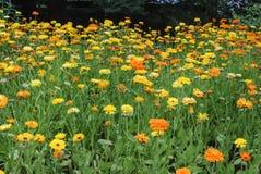 在柏林植物园的金盏草officinalis 库存图片