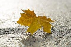 在柏油碎石地面的黄色枫叶 库存照片