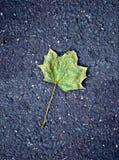 在柏油碎石地面路的枫叶 图库摄影