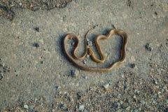 在柏油路的布朗蛇 库存图片