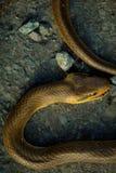 在柏油路的布朗蛇 免版税库存照片