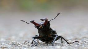 在柏油路的甲虫鹿爬行 Lucanus鹿 股票录像