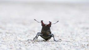 在柏油路的甲虫鹿爬行 Lucanus鹿 影视素材