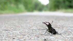 在柏油路的甲虫鹿爬行 Lucanus鹿 股票视频
