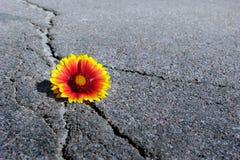 在柏油路的裂缝 在沥青和一朵美丽的花的一个裂缝 天人菊属植物 拷贝空间 库存照片