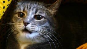 在某事的猫嘘声 股票视频