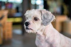 在某事的短发白色shih慈济狗注视 免版税库存图片