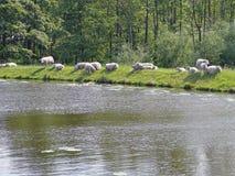 在某处堤堰的绵羊在荷兰的绿色牡鹿 免版税图库摄影
