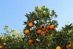 在柑橘树的桔子 免版税图库摄影