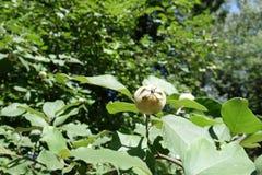 在柑橘leafage的果子在8月 图库摄影