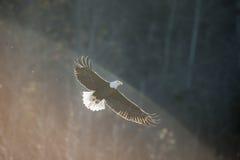 在柔光的白头鹰 免版税库存照片