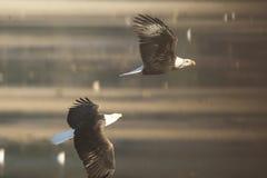 在柔光的白头鹰 库存照片